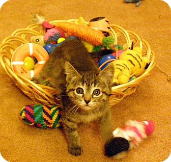 Domestic Mediumhair Kitten for adoption in Chandler, Arizona - Cinnamon