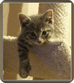 Domestic Longhair Kitten for adoption in Columbus, Ohio - Garret