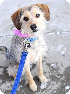 Schnauzer (Miniature)/Terrier (Unknown Type, Small) Mix Dog for adoption in Detroit, Michigan - Ellie-Adopted!