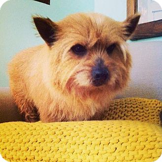 Norwich Terrier Dog for adoption in London, Ontario - Rooie