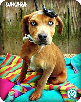 Retriever (Unknown Type)/Labrador Retriever Mix Puppy for adoption in Kimberton, Pennsylvania - Dakara