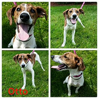 Beagle/Jack Russell Terrier Mix Dog for adoption in Garden City, Michigan - Otto