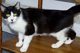 Domestic Shorthair Cat for adoption in Mt. Vernon, New York - Moo Mom