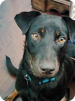 Labrador Retriever Mix Dog for adoption in Homewood, Alabama - Delilah