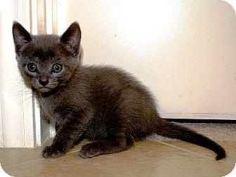 Domestic Shorthair Kitten for adoption in Nolensville, Tennessee - Abigail