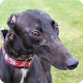 Greyhound Dog for adoption in Carol Stream, Illinois - Mighty Mouse