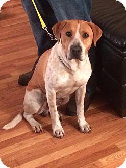 Labrador Retriever/Hound (Unknown Type) Mix Dog for adoption in Billerica, Massachusetts - Raleigh