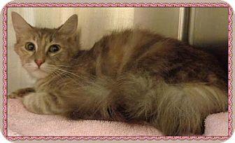 Domestic Longhair Cat for adoption in Marietta, Georgia - BEAUTY (R)