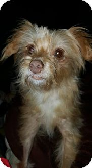 Yorkie, Yorkshire Terrier/Chihuahua Mix Dog for adoption in North Little Rock, Arkansas - Ella