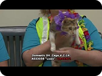 Domestic Shorthair Cat for adoption in Newnan City, Georgia - Lizzy