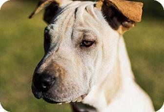 Shar Pei/Labrador Retriever Mix Puppy for adoption in Phoenix, Arizona - Peanut