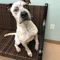 Adopt A Pet :: Pinto - Courtesy Post - Dallas, GA
