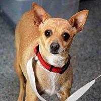 Chihuahua Dog for adoption in Goleta, California - ASPEN