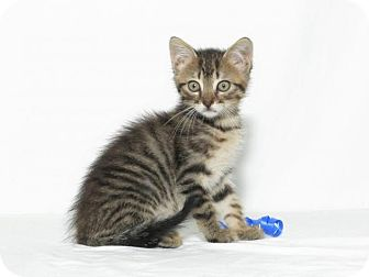 Domestic Shorthair Kitten for adoption in Lufkin, Texas - JJ