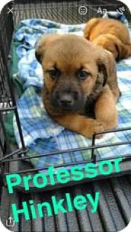 Mixed Breed (Medium) Mix Puppy for adoption in Jackson, Tennessee - Professor Hinkley