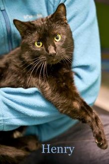 Domestic Shorthair/Domestic Shorthair Mix Cat for adoption in West Des Moines, Iowa - Henry