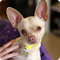 Adopt A Pet :: Caesar - Pacific Grove, CA