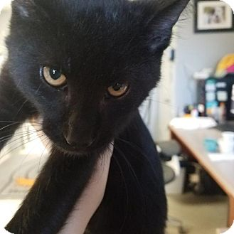 Domestic Shorthair Cat for adoption in Henderson, Kentucky - Remus