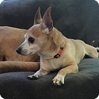 Chihuahua Mix Dog for adoption in Grand Rapids, Michigan - Spike
