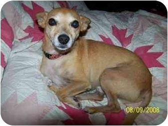 Chihuahua Mix Dog for adoption in Fort Worth, Texas - Mighty Dog