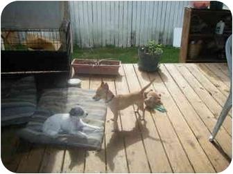 Chihuahua Dog for adoption in Wilmington, North Carolina - POOCHO