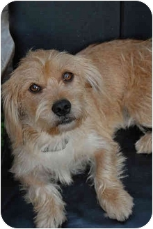 Australian Terrier/Petit Basset Griffon Vendeen Mix Dog for adoption in Los Angeles, California - Jessup