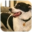 Photo 3 - Border Collie/Labrador Retriever Mix Dog for adoption in Walker, Michigan - Buska