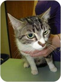 Domestic Shorthair Cat for adoption in Oklahoma City, Oklahoma - Sarah