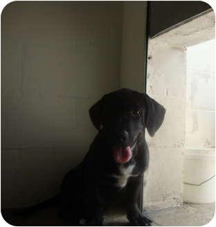 Basset Hound/Terrier (Unknown Type, Medium) Mix Puppy for adoption in Winter Haven, Florida - Justin