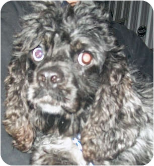 Cocker Spaniel Dog for adoption in Marseilles, Illinois - Candy