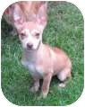 Chihuahua Mix Puppy for adoption in Salem, Oregon - Socrates