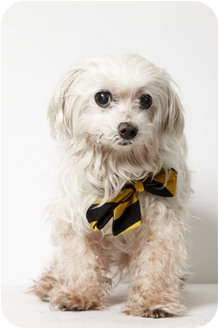 Maltese Dog for adoption in New York, New York - Blizzard