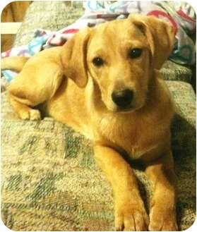 Golden Retriever Mix Dog for adoption in Allentown, Pennsylvania - Toffee