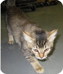 Domestic Shorthair Kitten for adoption in Stillwater, Oklahoma - Baby