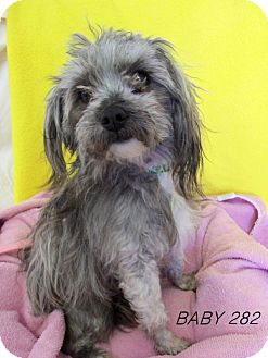 Yorkie, Yorkshire Terrier/Poodle (Miniature) Mix Dog for adoption in Waldorf, Maryland - Baby #282