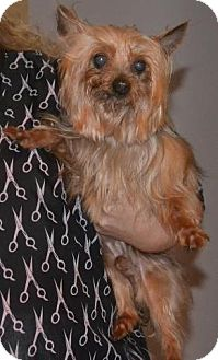 Yorkie, Yorkshire Terrier Dog for adoption in Greensboro, North Carolina - Toby