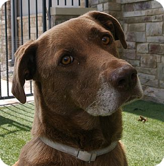 Labrador Retriever Mix Dog for adoption in white settlment, Texas - Molly
