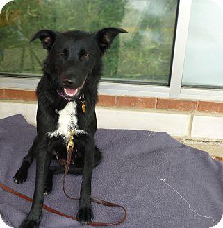German Shepherd Dog/Collie Mix Dog for adoption in Schaumburg, Illinois - Rosie