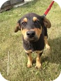 Rottweiler/German Shepherd Dog Mix Puppy for adoption in Okotoks, Alberta - Bradley