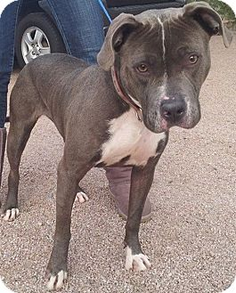 Pit Bull Terrier Mix Dog for adoption in Scottsdale, Arizona - Holly