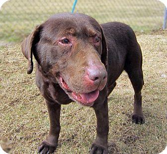 Labrador Retriever Dog for adoption in Sidney, Ohio - Buster