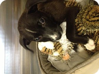 Labrador Retriever/Boxer Mix Puppy for adoption in MILWAUKEE, Wisconsin - MAPLE