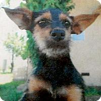 Adopt A Pet :: Cookie cutest pup - Sacramento, CA