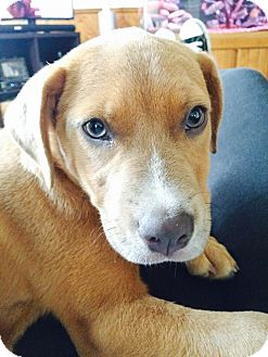 Labrador Retriever/American Pit Bull Terrier Mix Puppy for adoption in Warrenville, Illinois - Tessa