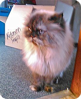Himalayan Cat for adoption in Winchendon, Massachusetts - Bridgette