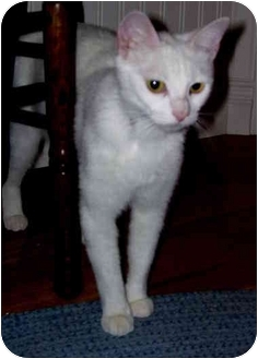 Domestic Shorthair Cat for adoption in Irvine, California - Moonglow