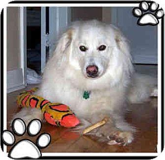 Samoyed/Golden Retriever Mix Dog for adoption in Kirkland, Quebec - Chalie