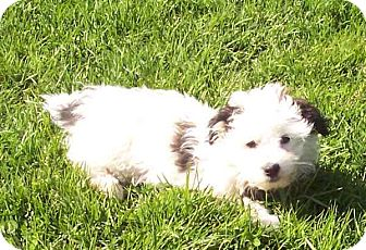 Terrier (Unknown Type, Small)/Shih Tzu Mix Puppy for adoption in McArthur, Ohio - HANK