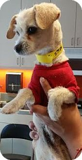 Terrier (Unknown Type, Small)/Poodle (Miniature) Mix Dog for adoption in Westminster, California - Blake Sheldon