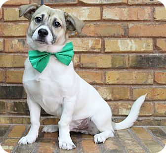 Beagle/Terrier (Unknown Type, Medium) Mix Puppy for adoption in Benbrook, Texas - Dusty